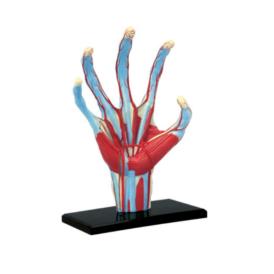 4D Master Рука людини (2)