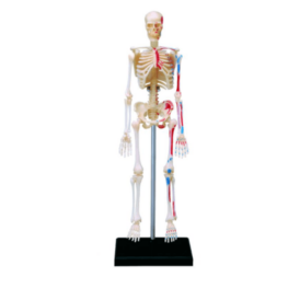 4D Master Скелет человека (2)