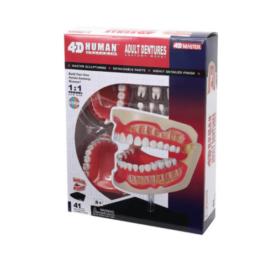 4D Master Зубной ряд человека (1)