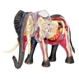 анатомическая модель 4D Master Слон (2)