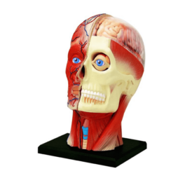 Об'ємна анатомічна модель 4D Master Голова людини (2)